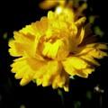 Yellow Mum With Raindrops by Debra Lynch
