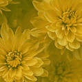 Yellow Mums by Linda Sannuti