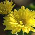 Yellow Mums by Sharon Talson