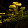 Yellow Mushrooms by Dr Charles Ott