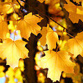 Yellow Nature Tree Leaves Art Prints Bright Baslee Troutman by Baslee Troutman