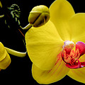 Yellow Orchid And Buds by Julie Palencia