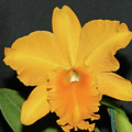 Yellow Orchid by Wally  Franiel