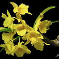 Yellow Orchids by Phil Jensen