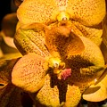 Yellow Orchids  by Zina Stromberg