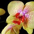 Yellow Phalaenopsis Orchid by Dariusz Gudowicz