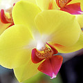 Yellow Phalaenopsis Orchids by Rona Black