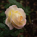 Yellow/pink Rose by Adam Gladstone