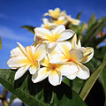Yellow Plumeria Flowers On Maui Hawaii by Michael Ledray