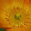 Yellow Poppy by Donna Bentley