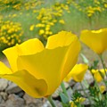 Yellow Poppy Flower Meadow Landscape Art Prints Baslee Troutman by Baslee Troutman