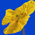 Yellow Poppy On Blue Background by Jean Noren