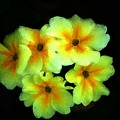 Yellow Primrose 5-25-09 by David Lane