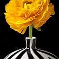 Yellow Ranunculus In Striped Vase by Garry Gay