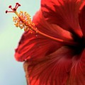 Yellow Red And Coral Hibiscus Profile by Diann Fisher