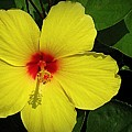 Yellow Red Hibiscus by Bonita Brandt