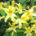 Yellow Rhododendron by Carla Parris