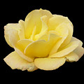 Yellow Rose 2 by Shirley anne Dunne