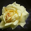 Yellow Rose 2 by Tim Allen