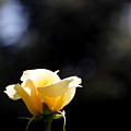 Yellow Rose 3 by Artur Gjino