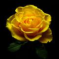 Yellow Rose 4 by Johanna Hurmerinta