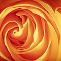 Yellow Rose by Adrienne Zulkoski