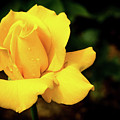 Yellow Rose - After The Rain by Douglas Milligan