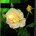 Yellow Rose by Alicia Espinosa