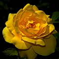 Yellow Rose by Bill Howard