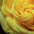 Yellow Rose by Dawn Knuth