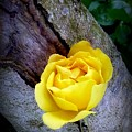 Yellow Rose by Dianne Pettingell