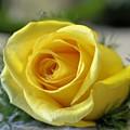 Yellow Rose by DJ Florek