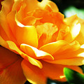 Yellow Rose by Donna Bentley