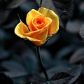 Yellow Rose by FL collection