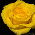 Yellow Rose  - Friendship,joy,good Health by Peterson Photography