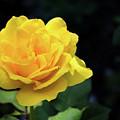 Yellow Rose - Full Bloom by Douglas Milligan