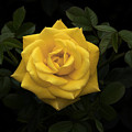 Yellow Rose by Gigi Ebert