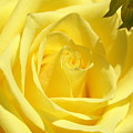 Yellow Rose by Heidi Poulin