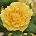 Yellow Rose IIi by Linda Brody