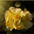 Yellow Rose In Bloom by Stefano Senise