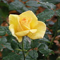 Yellow Rose In The Rain by Alice Markham
