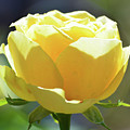 Yellow Rose In The Sun by Susan Jacob