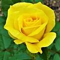 Yellow Rose by Jessica T Hamilton