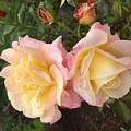 Yellow Rose by Joel Baugh