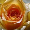 Yellow Rose by Luciana Seymour
