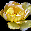 Yellow Rose by Marjorie Hedden