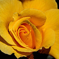 Yellow Rose by Mary Ourada