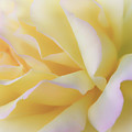 Yellow Rose by Michael Newberry