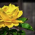 Yellow Rose Of Los Gatos by Randy Herring