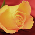 Yellow Rose On Red by Laura Mountainspring